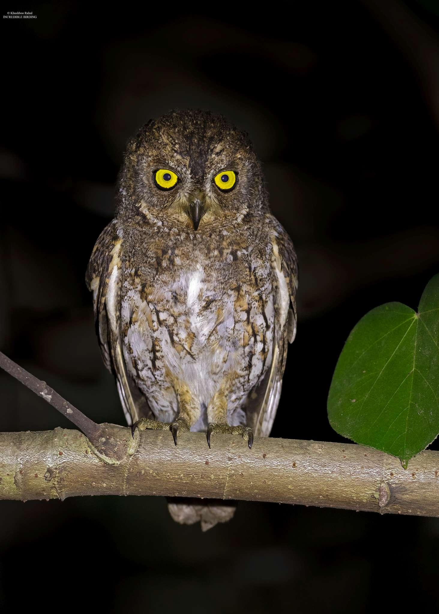 Walden's Scops Owl